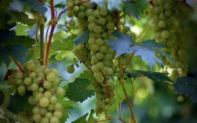 Leonardova vinica